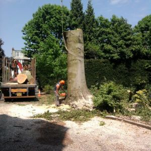 Large Beech Tree Removal Due To A Disease